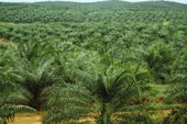 Solar Powered Lighting for Palm Plantation